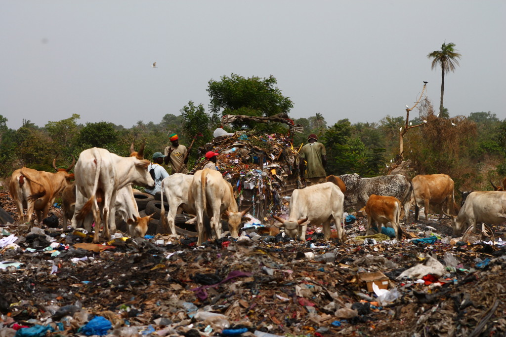 Open waste dump with livestock